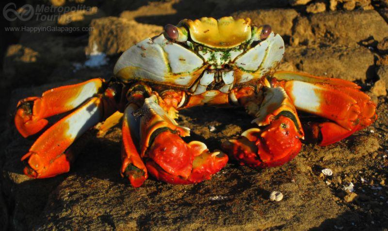 Galapagos Photo Sally Lightfoot Crab In Puerto Egas
