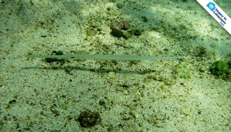Galapagos Islands A Cornetfish In Galapagos