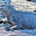 Galapagos Photo A marine iguana sunbathing in the Enchanted Islands