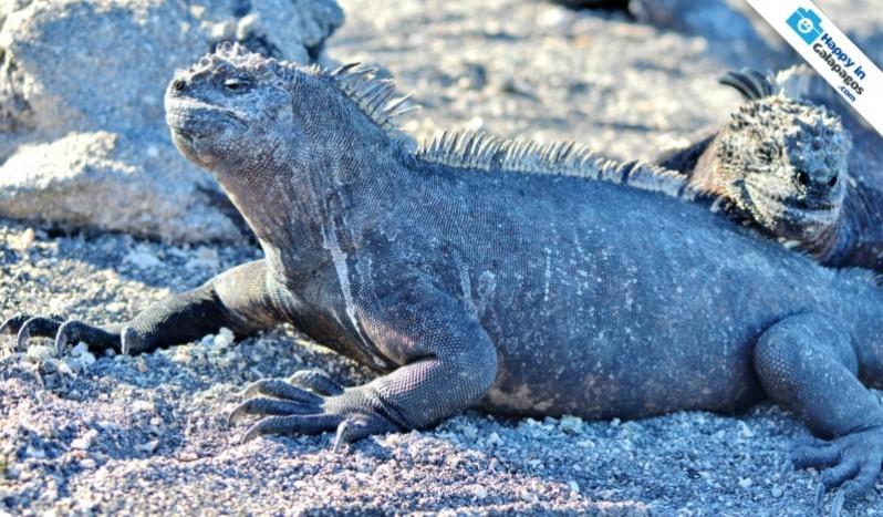 Galapagos Photos A Marine Iguana Sunbathing