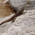 Galapagos Photo An incredible lava lizard in Santa Fe Island