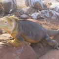 Galapagos Photo A incredible land iguana in North Seymour Island