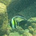 Galapagos Photo A really amazing moorish idol fish in Galapagos