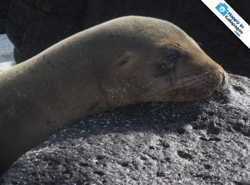 Galapagos Photos A Sea Lion Resting In Santa Fe Island