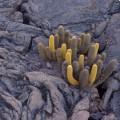 Galapagos Photo A wonderful lava cactus in Punta Espinoza