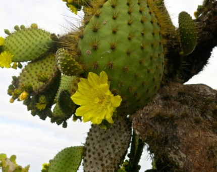 Galapagos Photo An awesome flower of a cactus in Galapagos