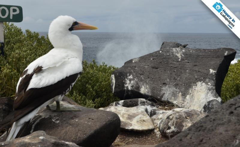 Galapagos Islands A Nazca Boobie In Punta Suarez