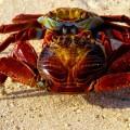 Galapagos Photo A couple of sally lightfoot crab in Galapagos