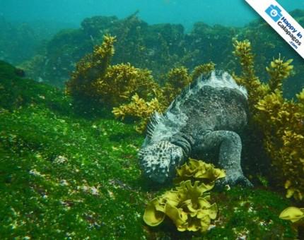 Galapagos Photo A Marine Iguana eating algae