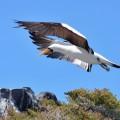Galapagos Photo A Nazca booby landing on a rock