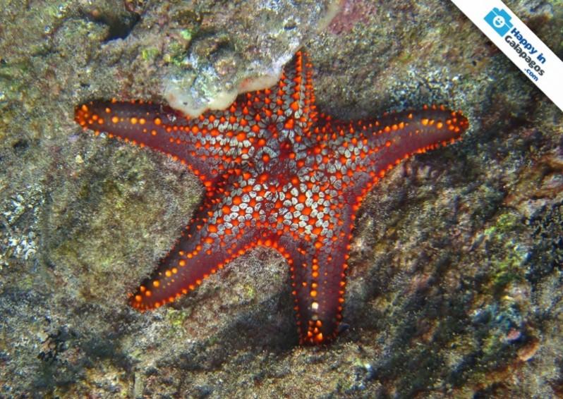 Galapagos Photo A red starfish in Bartolome