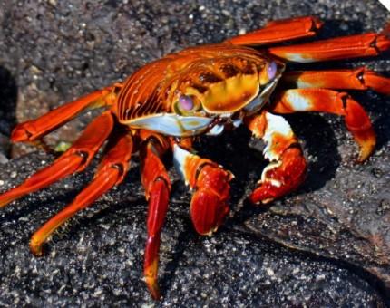Galapagos Photo A Sally Lightfoot Crab over black lava rocks