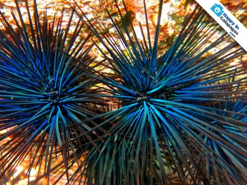 Galapagos Photo A wonderful blue sea urchin